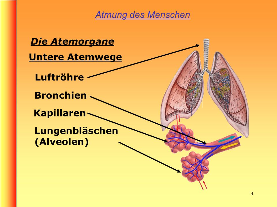3 Atmung des Menschen Die Atemorgane Nase Mund Rachen Obere Atemwege