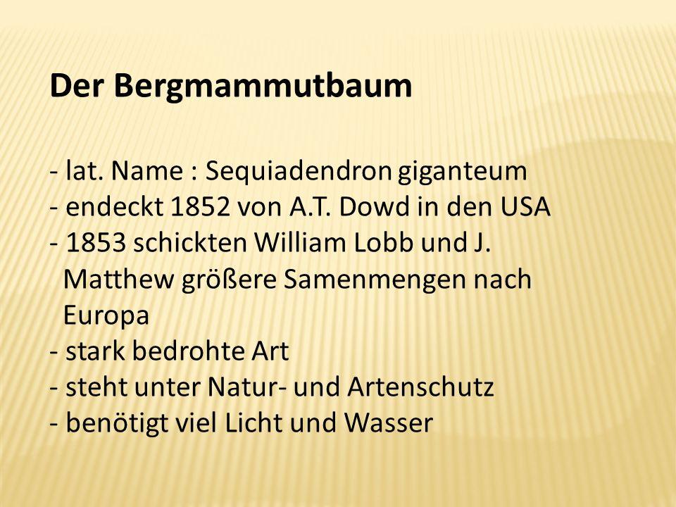 Der Bergmammutbaum - lat. Name : Sequiadendron giganteum - endeckt 1852 von A.T. Dowd in den USA - 1853 schickten William Lobb und J. Matthew größere