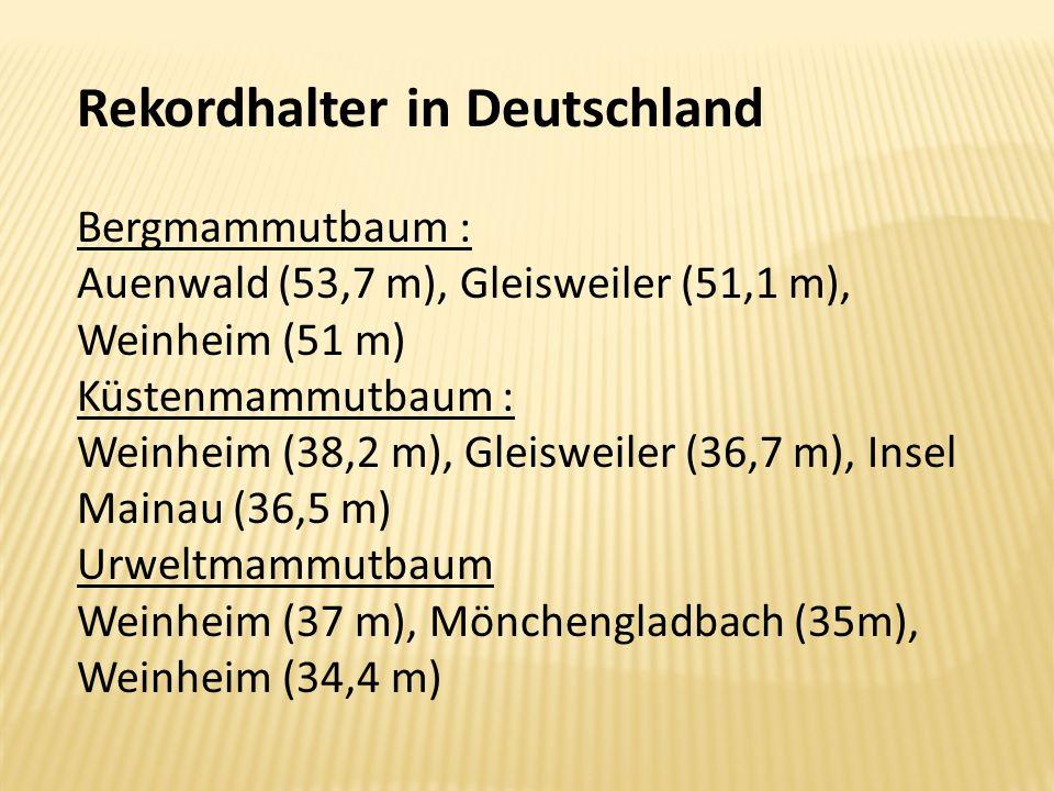 Rekordhalter in Deutschland Bergmammutbaum : Auenwald (53,7 m), Gleisweiler (51,1 m), Weinheim (51 m) Küstenmammutbaum : Weinheim (38,2 m), Gleisweile