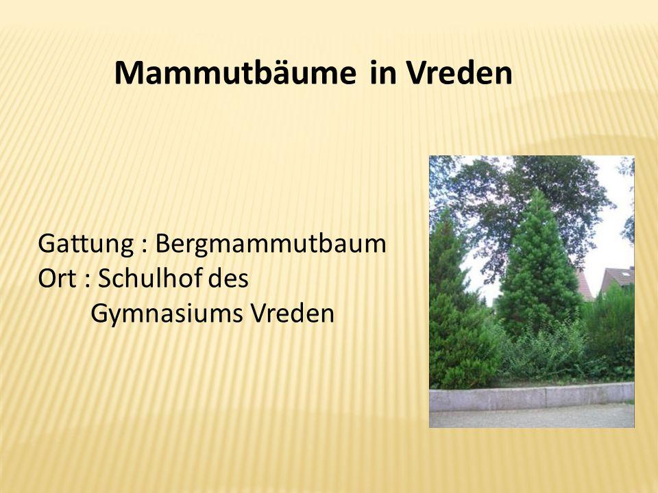 Mammutbäume in Vreden Gattung : Bergmammutbaum Ort : Schulhof des Gymnasiums Vreden