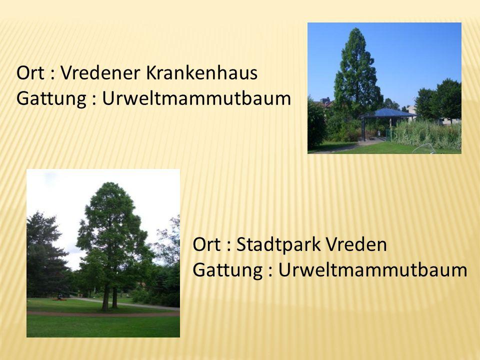 Ort : Vredener Krankenhaus Gattung : Urweltmammutbaum Ort : Stadtpark Vreden Gattung : Urweltmammutbaum
