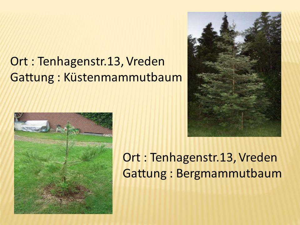 Ort : Tenhagenstr.13, Vreden Gattung : Küstenmammutbaum Ort : Tenhagenstr.13, Vreden Gattung : Bergmammutbaum