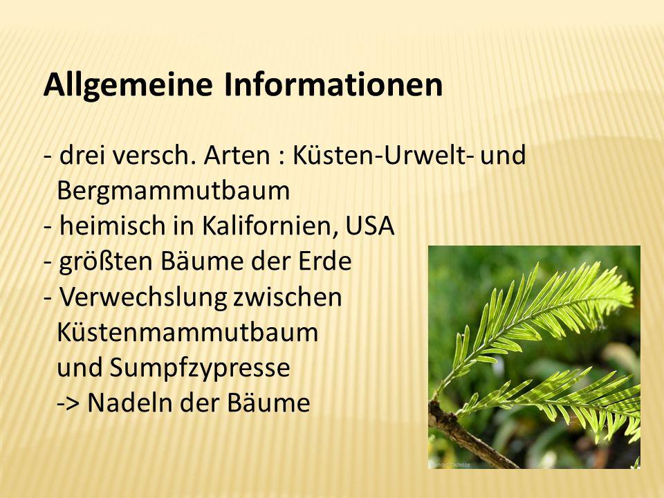 Allgemeine Informationen - drei versch. Arten : Küsten-Urwelt- und Bergmammutbaum - heimisch in Kalifornien, USA - größten Bäume der Erde - Verwechslu