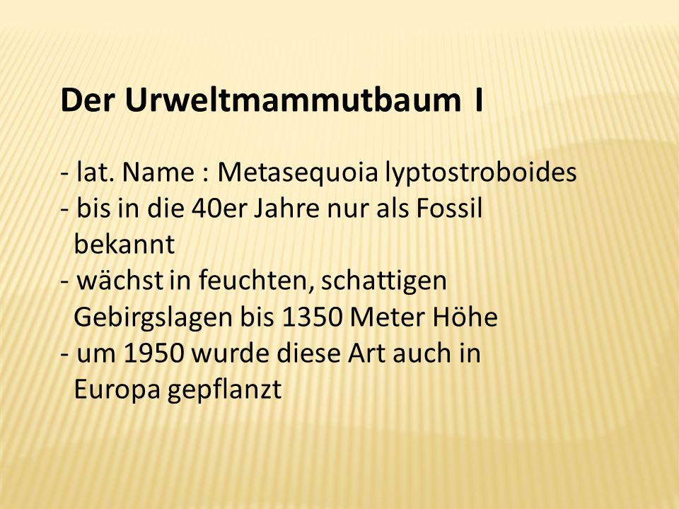 Der Urweltmammutbaum I - lat. Name : Metasequoia lyptostroboides - bis in die 40er Jahre nur als Fossil bekannt - wächst in feuchten, schattigen Gebir