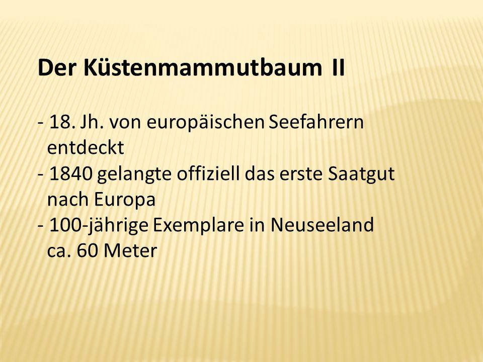 Der Küstenmammutbaum II - 18. Jh. von europäischen Seefahrern entdeckt - 1840 gelangte offiziell das erste Saatgut nach Europa - 100-jährige Exemplare