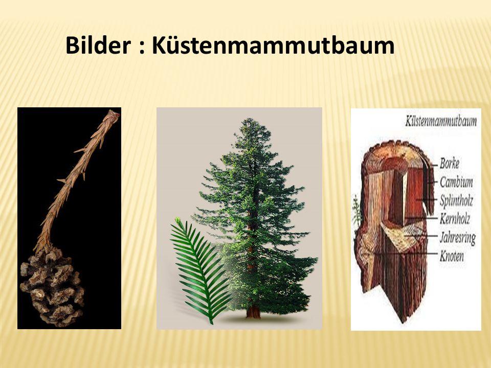 Bilder : Küstenmammutbaum