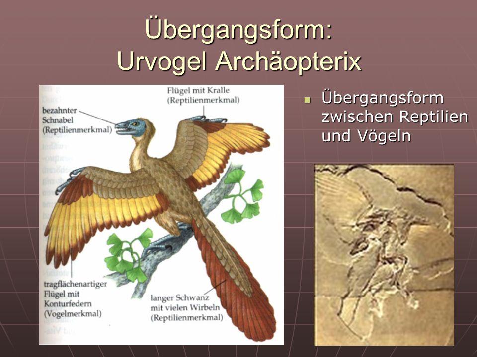 21 Übergangsform: Urvogel Archäopterix Übergangsform zwischen Reptilien und Vögeln Übergangsform zwischen Reptilien und Vögeln