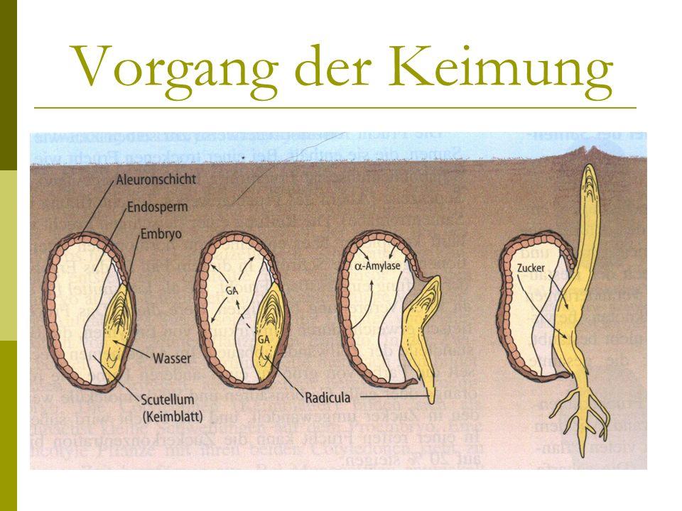 Vorgang der Keimung