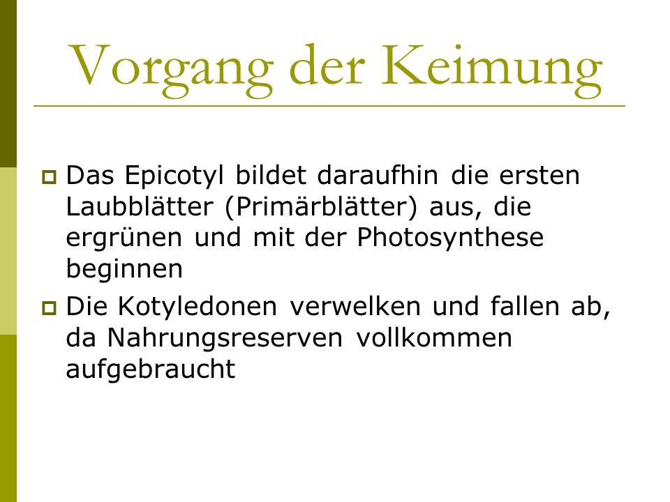 Vorgang der Keimung Das Epicotyl bildet daraufhin die ersten Laubblätter (Primärblätter) aus, die ergrünen und mit der Photosynthese beginnen Die Koty