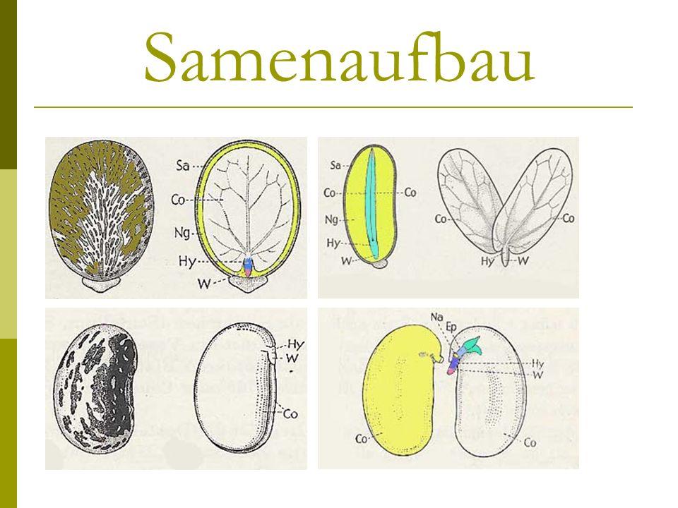 Ein Samen setzt sich zusammen aus: Der Samenschale (gebildet aus Integumenten = Sporophytengewebe) Einem Nährgewebe (Endosperm, Kotyledonen) Dem Embryo mit seinen Keimblättern (Kotyledonen) und Anlagen für Suspensor, Spross-Scheitel und Wurzelhaube
