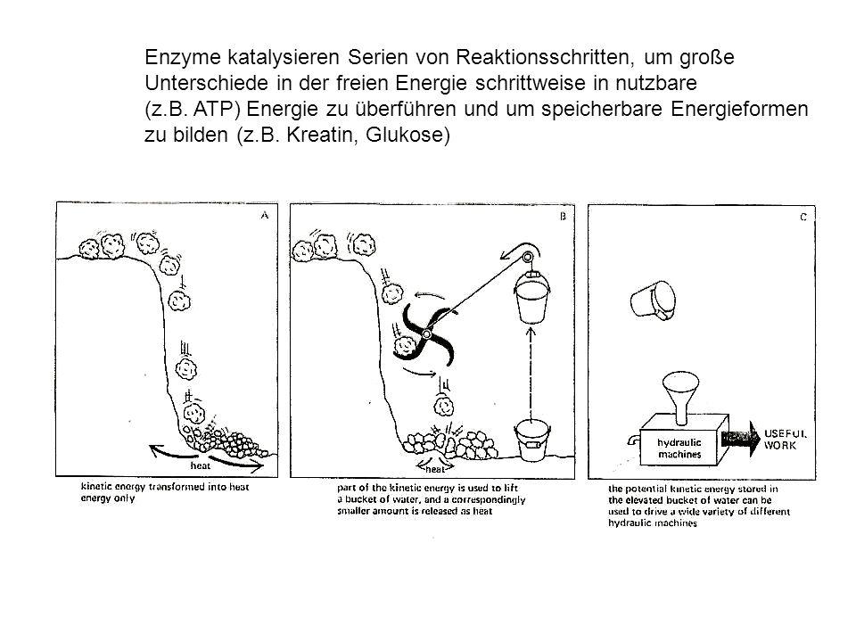 Enzyme katalysieren Serien von Reaktionsschritten, um große Unterschiede in der freien Energie schrittweise in nutzbare (z.B. ATP) Energie zu überführ