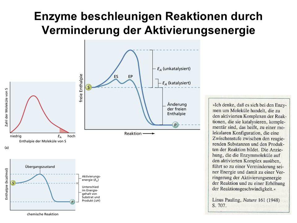 Enzyme beschleunigen Reaktionen durch Verminderung der Aktivierungsenergie