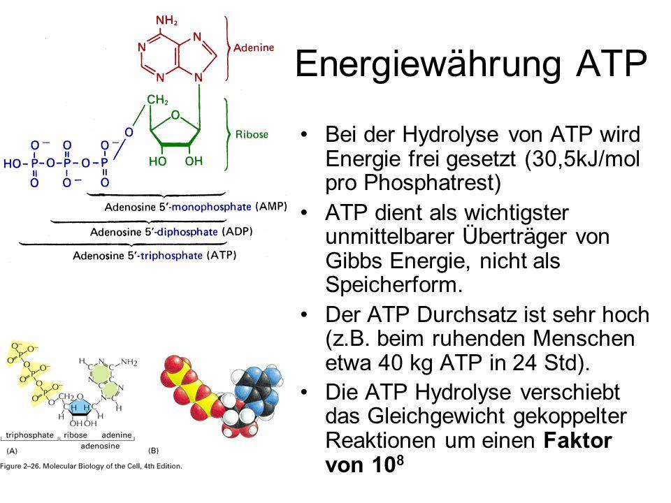 Energiewährung ATP Bei der Hydrolyse von ATP wird Energie frei gesetzt (30,5kJ/mol pro Phosphatrest) ATP dient als wichtigster unmittelbarer Überträge