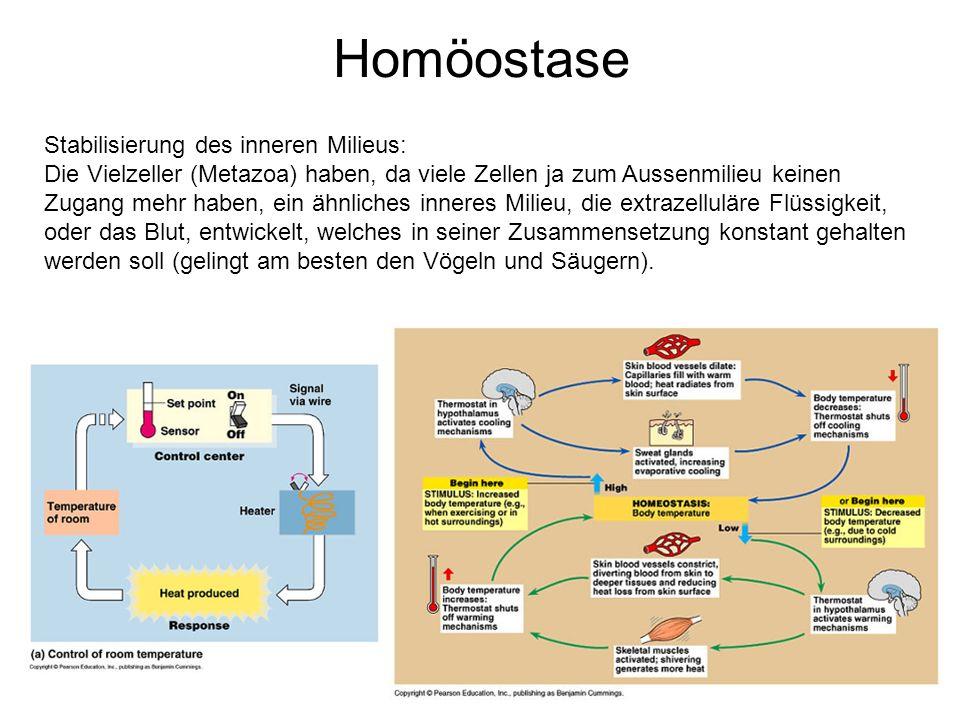 Homöostase Stabilisierung des inneren Milieus: Die Vielzeller (Metazoa) haben, da viele Zellen ja zum Aussenmilieu keinen Zugang mehr haben, ein ähnli
