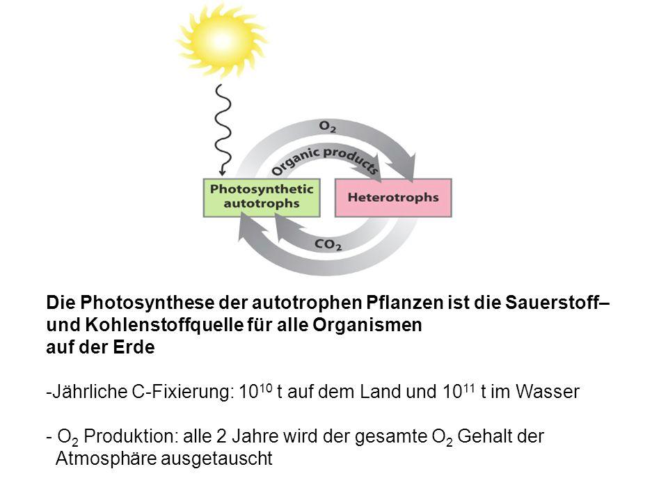 Die Photosynthese der autotrophen Pflanzen ist die Sauerstoff– und Kohlenstoffquelle für alle Organismen auf der Erde -Jährliche C-Fixierung: 10 10 t