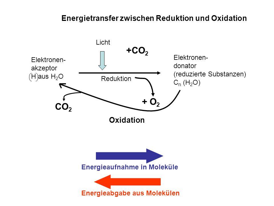 Energietransfer zwischen Reduktion und Oxidation Elektronen- akzeptor H aus H 2 O Elektronen- donator (reduzierte Substanzen) C n (H 2 O) Reduktion Li