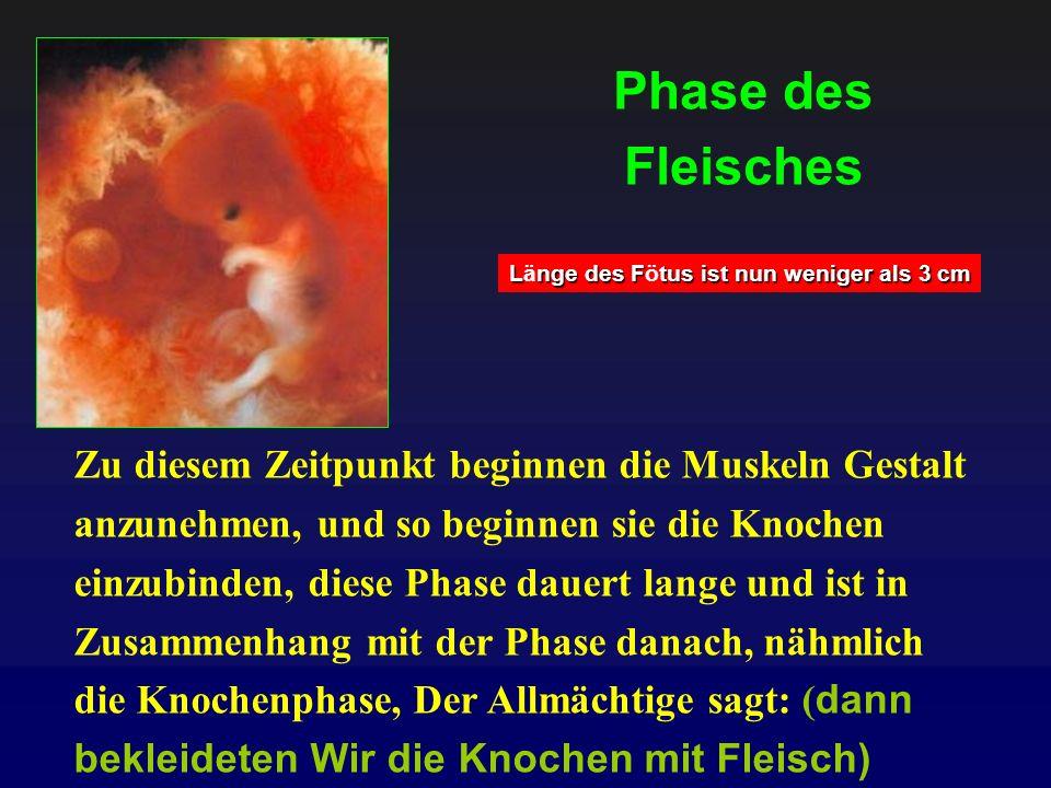 Phase des Fleisches Zu diesem Zeitpunkt beginnen die Muskeln Gestalt anzunehmen, und so beginnen sie die Knochen einzubinden, diese Phase dauert lange
