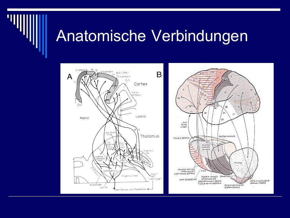 Anatomische Verbindungen