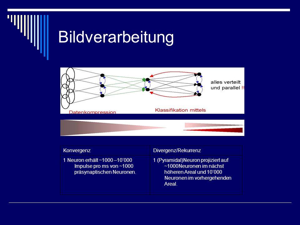 Bildverarbeitung KonvergenzDivergenz/Rekurrenz 1 Neuron erhält ~1000 –10000 Impulse pro ms von ~1000 präsynaptischen Neuronen. 1 (Pyramidal)Neuron pro