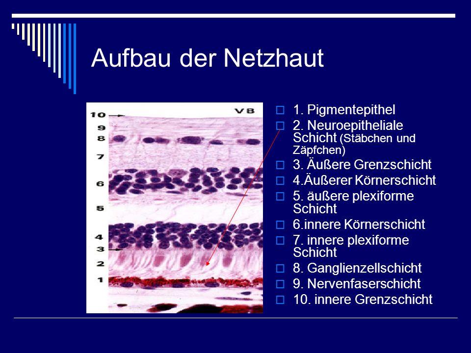 Aufbau der Netzhaut 1. Pigmentepithel 2. Neuroepitheliale Schicht (Stäbchen und Zäpfchen) 3. Äußere Grenzschicht 4.Äußerer Körnerschicht 5. äußere ple