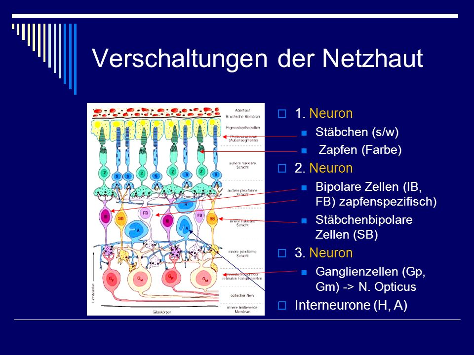 Verschaltungen der Netzhaut 1. Neuron Stäbchen (s/w) Zapfen (Farbe) 2. Neuron Bipolare Zellen (IB, FB) zapfenspezifisch) Stäbchenbipolare Zellen (SB)