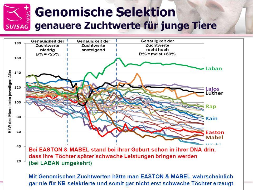 Genomische Selektion genauere Zuchtwerte für junge Tiere 21.02.2014Strickhof Schweinetag 201320 Bei EASTON & MABEL stand bei ihrer Geburt schon in ihrer DNA drin, dass ihre Töchter später schwache Leistungen bringen werden (bei LABAN umgekehrt) Mit Genomischen Zuchtwerten hätte man EASTON & MABEL wahrscheinlich gar nie für KB selektierte und somit gar nicht erst schwache Töchter erzeugt