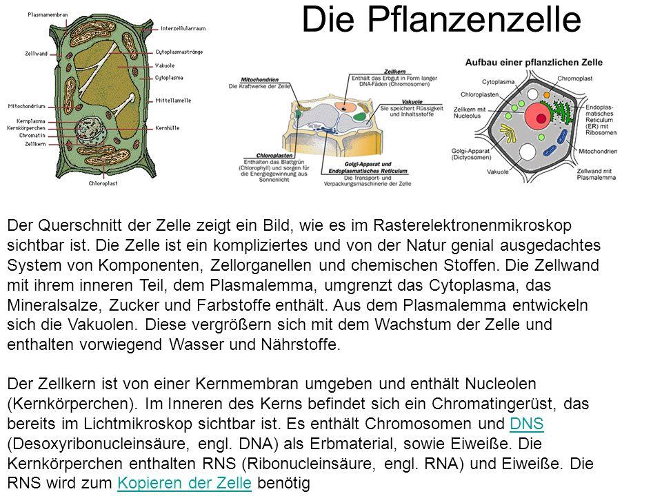 Die Pflanzenzelle Der Querschnitt der Zelle zeigt ein Bild, wie es im Rasterelektronenmikroskop sichtbar ist. Die Zelle ist ein kompliziertes und von