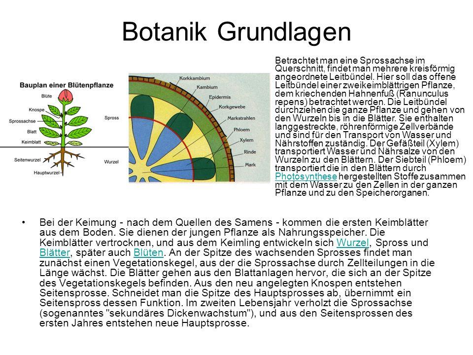 Botanik Grundlagen Bei der Keimung - nach dem Quellen des Samens - kommen die ersten Keimblätter aus dem Boden. Sie dienen der jungen Pflanze als Nahr