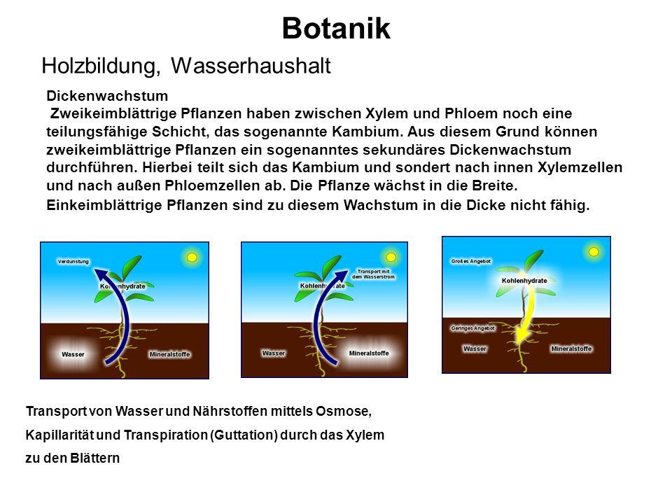 Botanik Holzbildung, Wasserhaushalt Dickenwachstum Zweikeimblättrige Pflanzen haben zwischen Xylem und Phloem noch eine teilungsfähige Schicht, das so
