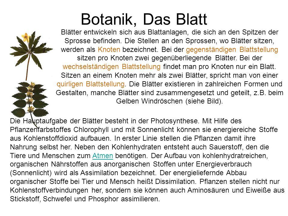 Botanik, Das Blatt Blätter entwickeln sich aus Blattanlagen, die sich an den Spitzen der Sprosse befinden. Die Stellen an den Sprossen, wo Blätter sit