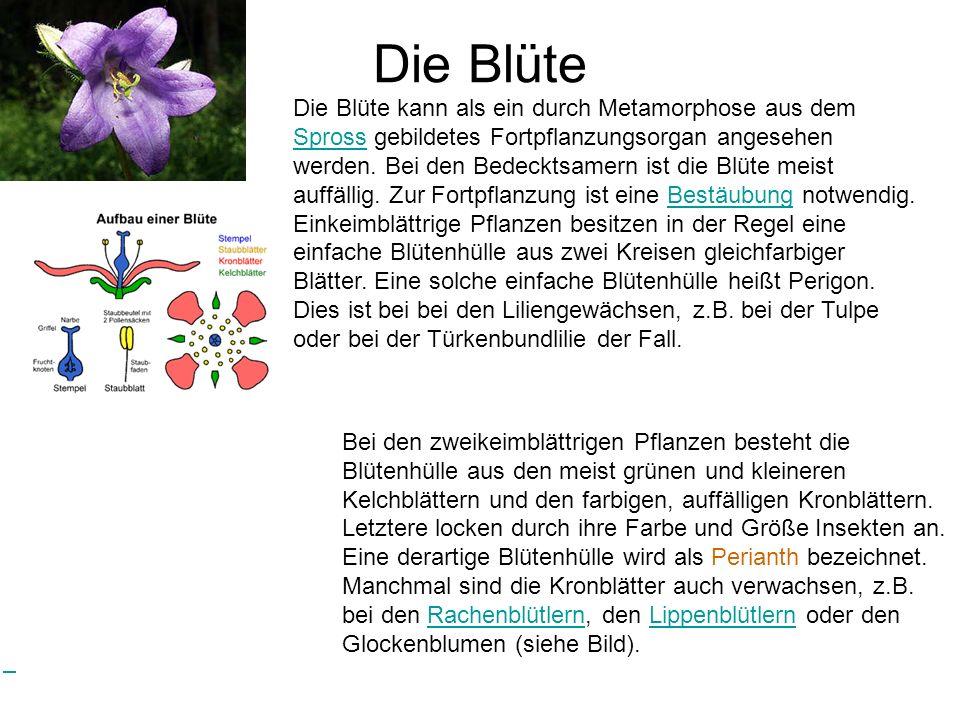 Die Blüte Bei den zweikeimblättrigen Pflanzen besteht die Blütenhülle aus den meist grünen und kleineren Kelchblättern und den farbigen, auffälligen K