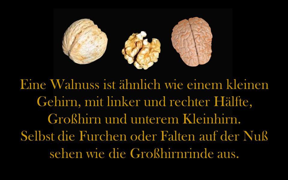 Eine Walnuss ist ähnlich wie einem kleinen Gehirn, mit linker und rechter Hälfte, Großhirn und unterem Kleinhirn.