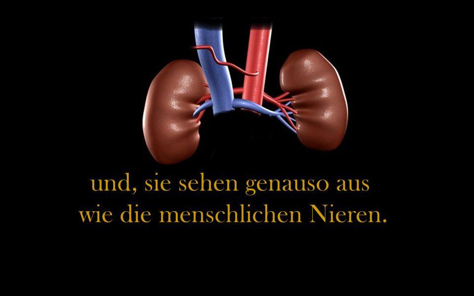 und, sie sehen genauso aus wie die menschlichen Nieren.