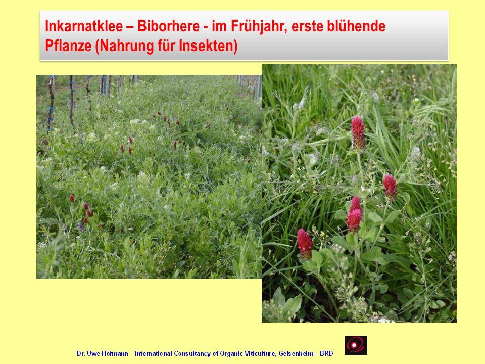 Inkarnatklee – Biborhere - im Frühjahr, erste blühende Pflanze (Nahrung für Insekten) Inkarnatklee – Biborhere - im Frühjahr, erste blühende Pflanze (