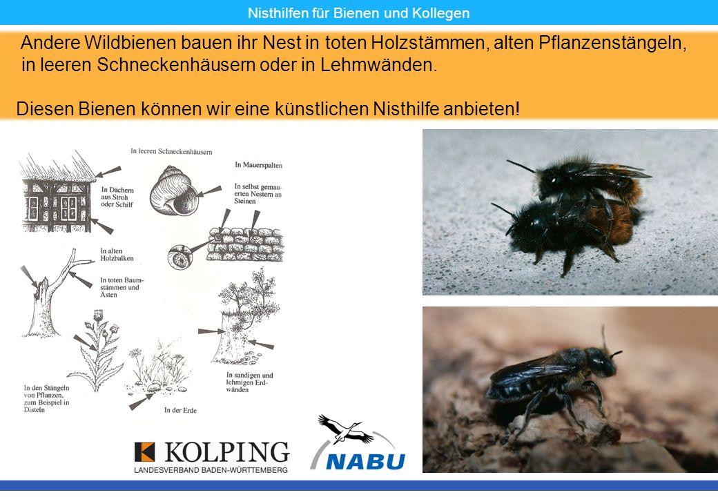 11.11.08MK10 Nisthilfen für Bienen und Kollegen Andere Wildbienen bauen ihr Nest in toten Holzstämmen, alten Pflanzenstängeln, in leeren Schneckenhäus