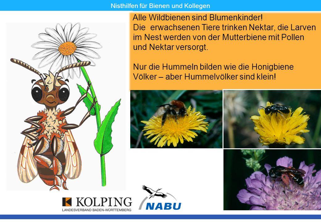 11.11.08MK4 Nisthilfen für Bienen und Kollegen Alle Wildbienen sind Blumenkinder! Die erwachsenen Tiere trinken Nektar, die Larven im Nest werden von