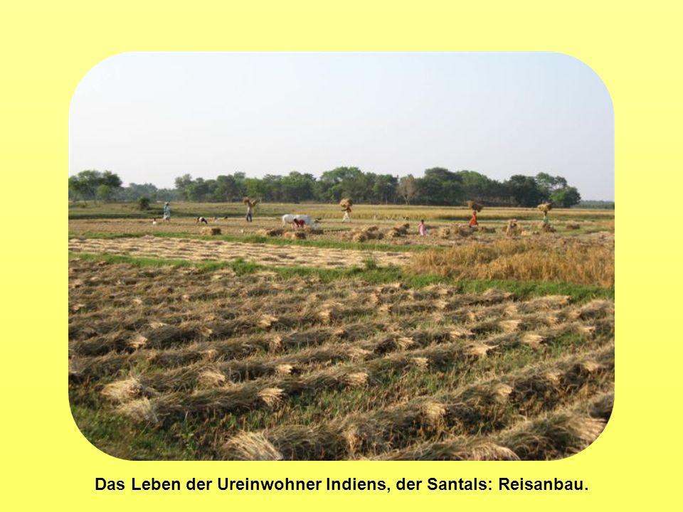 Das Leben der Ureinwohner Indiens, der Santals: Reisanbau.