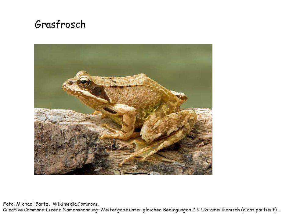 Grasfrosch Foto: Michael Bartz, Wikimedia Commons, Creative Commons-Lizenz Namensnennung-Weitergabe unter gleichen Bedingungen 2.5 US-amerikanisch (ni