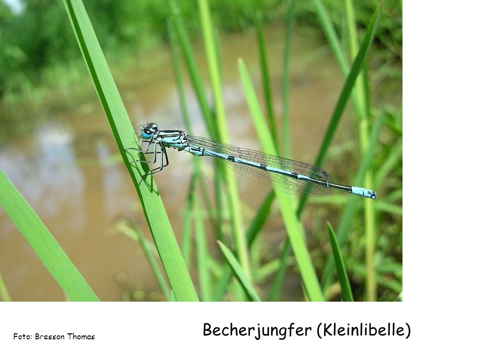 Becherjungfer (Kleinlibelle) Foto: Bresson Thomas