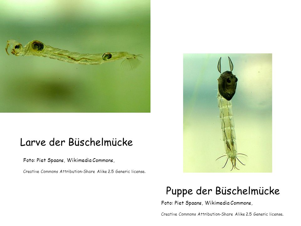 Larve der Büschelmücke Puppe der Büschelmücke Foto: Piet Spaans, Wikimedia Commons, Creative Commons Attribution-Share Alike 2.5 Generic license. Foto