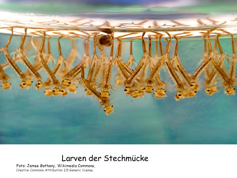 Larven der Stechmücke Foto: James Gathany, Wikimedia Commons, Creative Commons Attribution 2.5 Generic license.