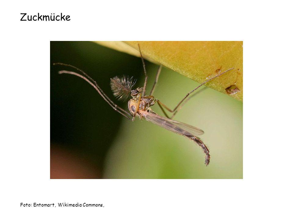 Zuckmücke Foto: Entomart, Wikimedia Commons,