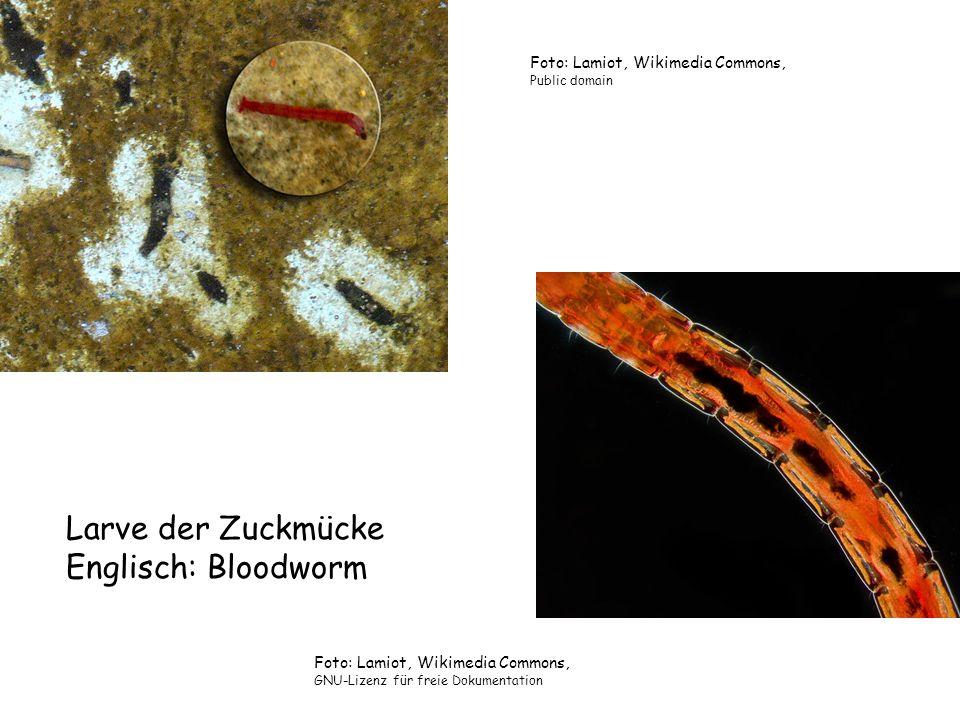 Larve der Zuckmücke Englisch: Bloodworm Foto: Lamiot, Wikimedia Commons, GNU-Lizenz für freie Dokumentation Foto: Lamiot, Wikimedia Commons, Public do