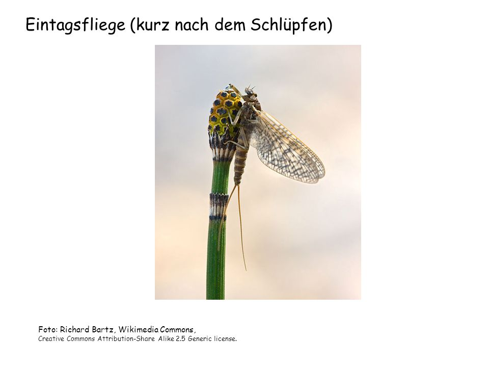 Eintagsfliege (kurz nach dem Schlüpfen) Foto: Richard Bartz, Wikimedia Commons, Creative Commons Attribution-Share Alike 2.5 Generic license.