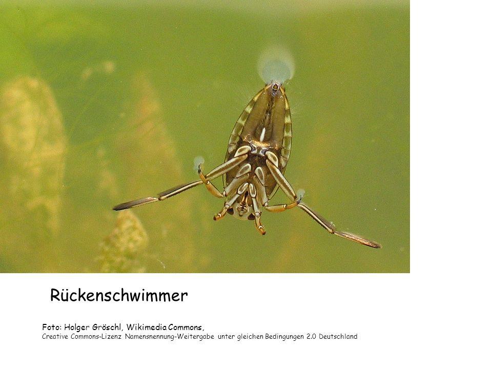 Rückenschwimmer Foto: Holger Gröschl, Wikimedia Commons, Creative Commons-Lizenz Namensnennung-Weitergabe unter gleichen Bedingungen 2.0 Deutschland