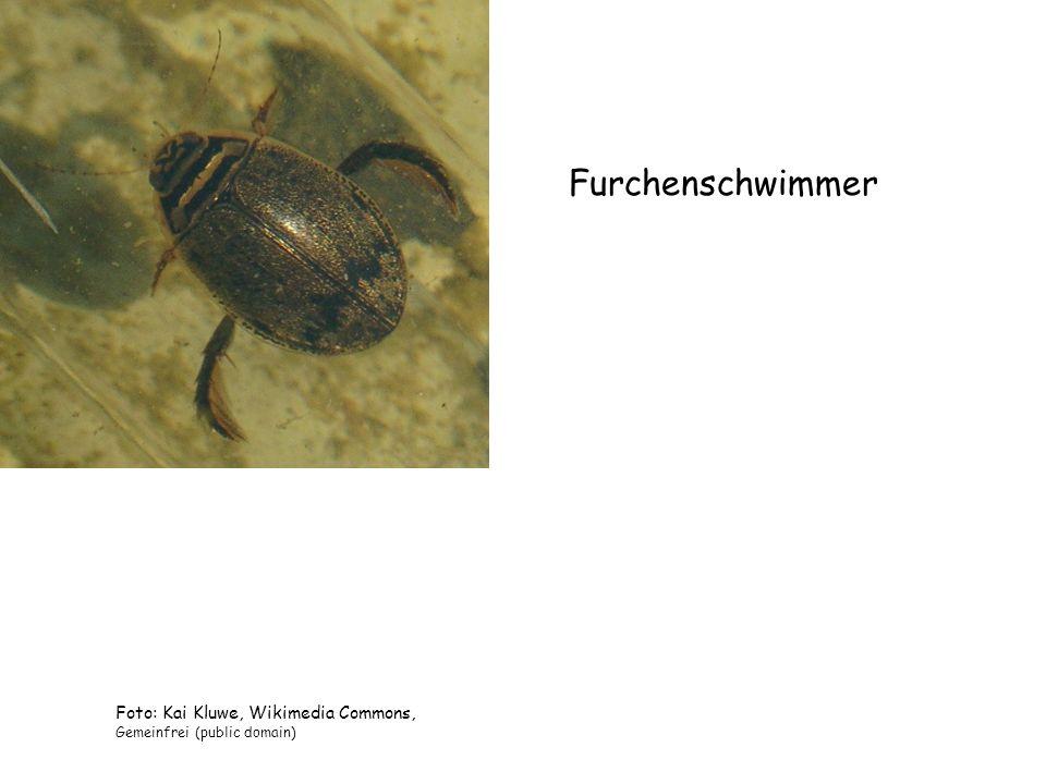 Furchenschwimmer Foto: Kai Kluwe, Wikimedia Commons, Gemeinfrei (public domain)