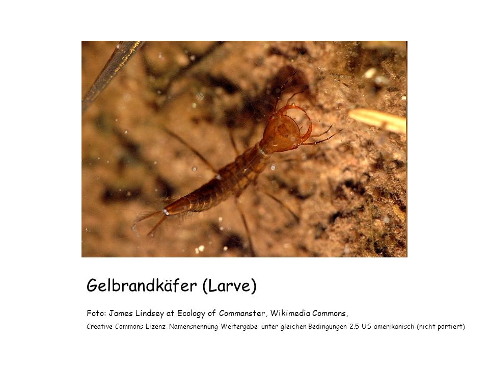 Gelbrandkäfer (Larve) Foto: James Lindsey at Ecology of Commanster, Wikimedia Commons, Creative Commons-Lizenz Namensnennung-Weitergabe unter gleichen