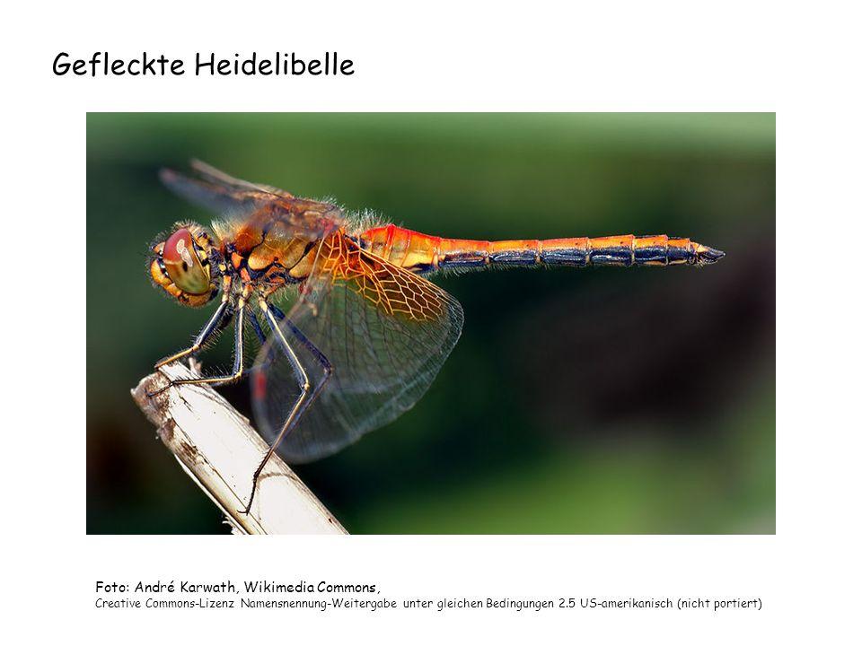 Gefleckte Heidelibelle Foto: André Karwath, Wikimedia Commons, Creative Commons-Lizenz Namensnennung-Weitergabe unter gleichen Bedingungen 2.5 US-amer