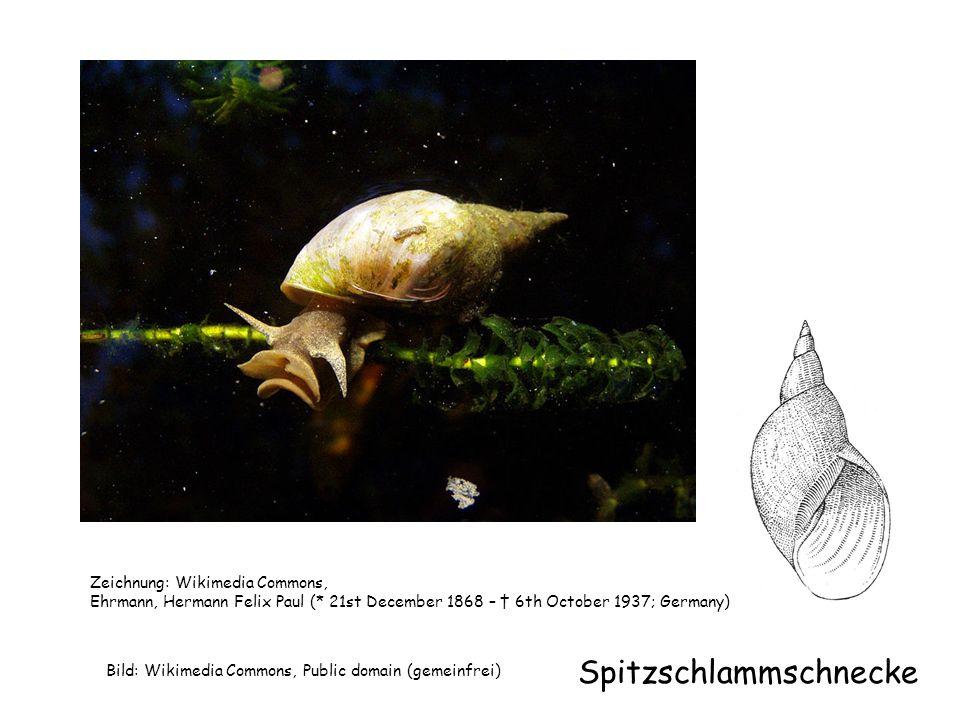 Spitzschlammschnecke (Laichschnüre) Foto: Frank Vincentz, Wikimedia Commons, GNU-Lizenz für freie Dokumentation.