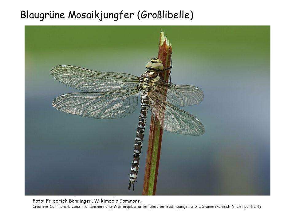 Blaugrüne Mosaikjungfer (Großlibelle) Foto: Friedrich Böhringer, Wikimedia Commons, Creative Commons-Lizenz Namensnennung-Weitergabe unter gleichen Be